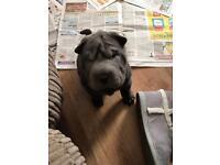 Shar Pei Puppies KC Registered Stunning Blue & Lilac