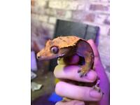 High end male crested gecko.