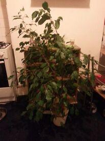 Ficus Benjamina for sale