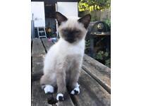 Boy x Siamese kitten