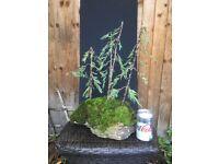 Bonsai Rock Planted Green Juniper
