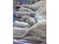 Full Pedigree Golden Retriever Pups. KC Registered.