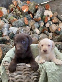Gorgeous Labrador Puppies