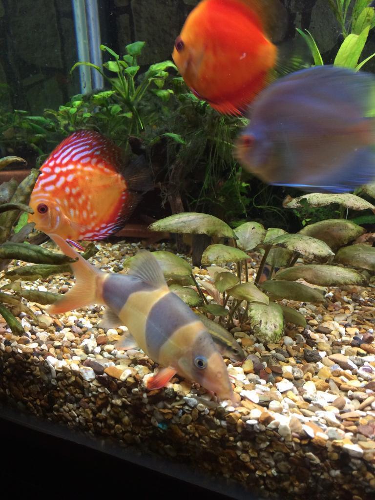 Freshwater aquarium fish loach - Clown Loach Tropical Aquarium Fish