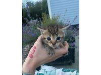 Kittens for sale to happy homes
