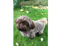 Female Shih tzu 16 months old Full Pedigree.