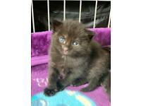 Beautiful Russian Blue and Ragdoll kittens