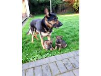 GSD 2 BOYS 3 GIRL READY TO GO IN 8 MAY TEL 0745 0084573 . COST 700£