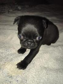 Pug puppy for sale..