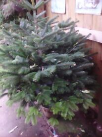 Norvic fir 4ft real Xmas tree,lovely tree but to wide for where I was going to put it