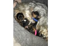 Purebred Teacup Yorkshire Terriers for sale