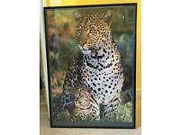 Framed poster photo of sitting leopard and cub 75x56cm ready to hang