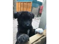 Akita X German shepherd puppies. READY TO LEAVE MOTHER NOW