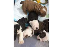 Outstanding bulldog puppy's for sale