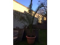 Two garden palm trees with pot