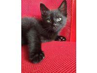 2 Kittens Black Boy and Girl 9 weeks old
