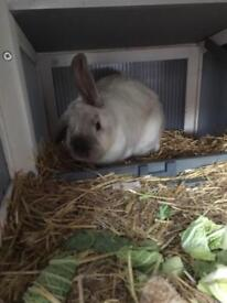 Beautiful bunny rabbits Urgent need to go today