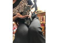 12 weeks old tabby kitten