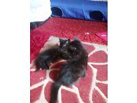 2 black fluffy kittens
