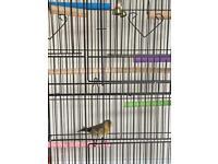 Goldfinch mule bird (singing bird) with cage