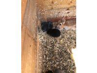 Dwarf baby rabbits for sale info 07918479963