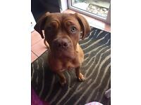Female 8 month old dogue de Bordeaux for sale