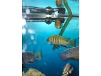 Pair of cichlids for sale