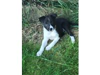 Border collie in Scotland   Dogs & Puppies for Sale - Gumtree