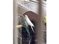 Beautiful Baby Budgie & Brand New Cage (Full Set Up)