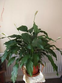 Large Peace Lily Plant SOLD SUBJECT TO PAYMENT & COLLECTION...
