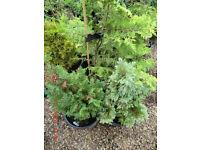 4 Assorted pine tree varieties in pots.