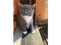 Beautiful British shorthair cross kittens