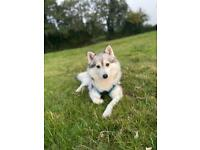 Looking to rehome my two Pomskies