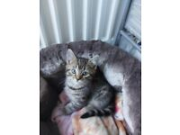 Beautiful grey tabby girl kitten only 320 ready to go now
