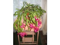 Flowering Cactus House Plants (schlumbergera buckleyi) for £10.00