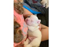 Kc french bulldog puppies