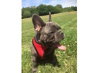 Stunning Blue Brindle French Bulldog, KC reg pedigree