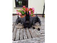 3 baby Netherland Dawrf rabbits