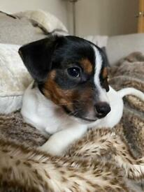 Beautiful litter of Jack russell puppies (4)