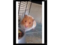 HAMSTER FOR SALE (comes with accessories)