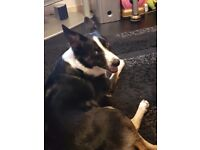 Border collie female almost 2 years old