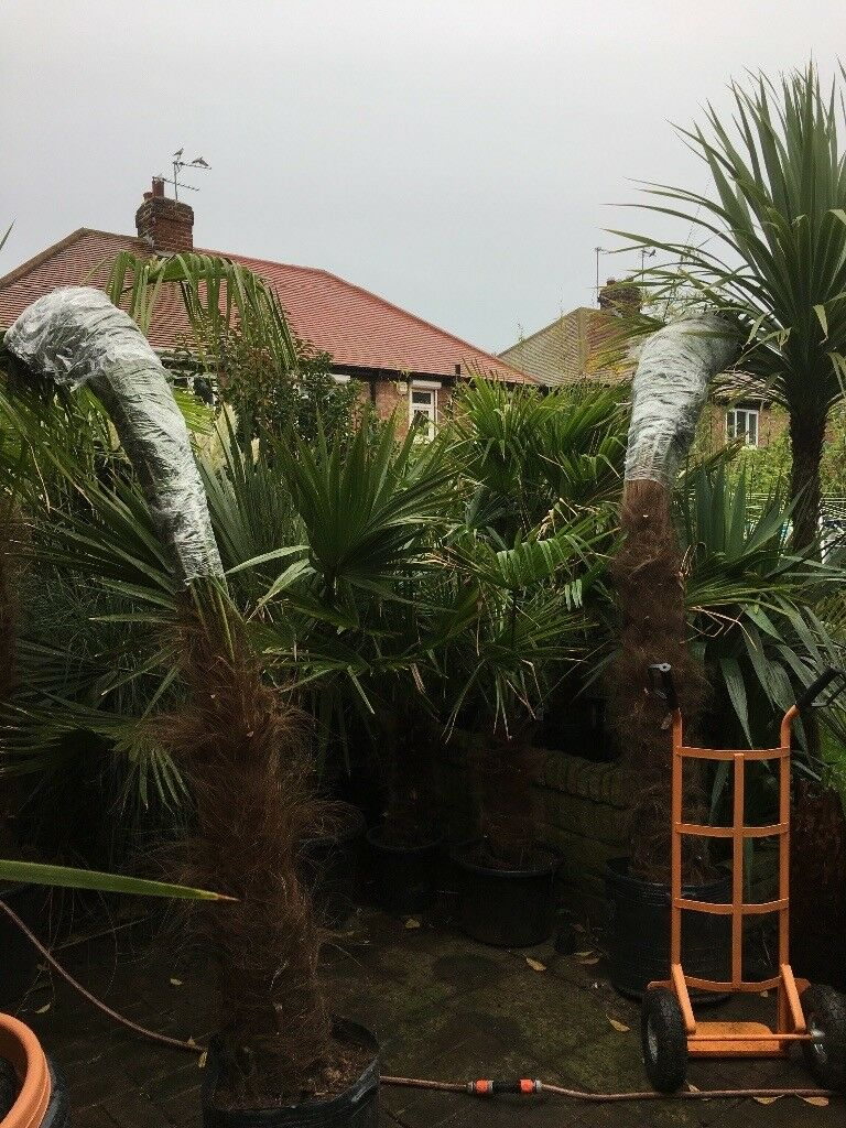 7/8ft palm tree gardenREDUCED