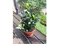 Laurel tree for balcony or Garden