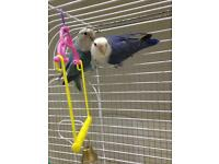 Love birds & cage for sale