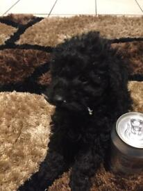 Toy poodle bitch