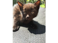 HANDSOME MALE KITTEN BLACK WITH SLIGHT GREY .GINGER READY NOW
