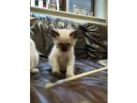 Traditional Siamese kitten boy 6 weeks old