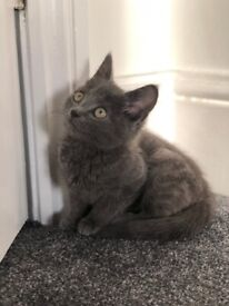 Beautiful British Shorthair Kitten for sale