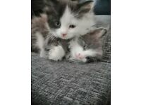 Cute fluffy kittens Ready to leave this week