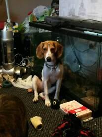 Beagle 6 months old